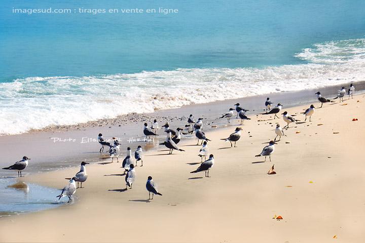 Mouettes rieuses, meeting sur la plage