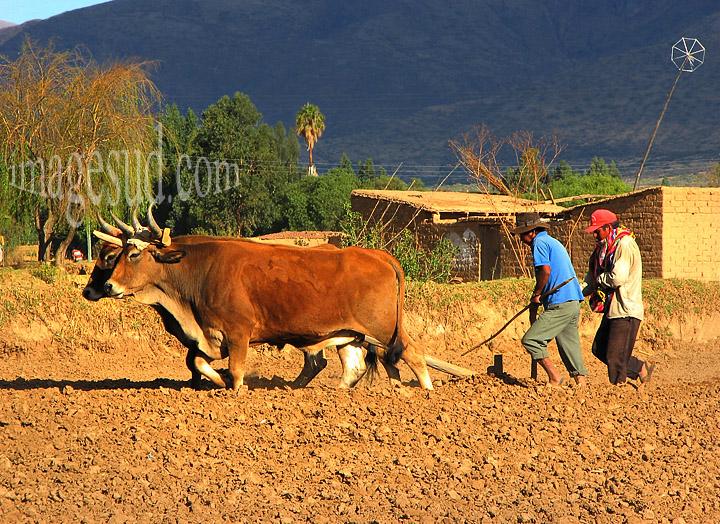 Bolivie: agriculture, travaux des champs avec des boeufs, traction animale, Bolivie
