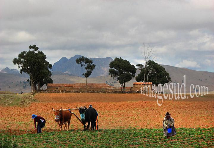 Agriculture indigène : semailles sur l'altiplano des Andesavec l'aide d'un couple de boeufs
