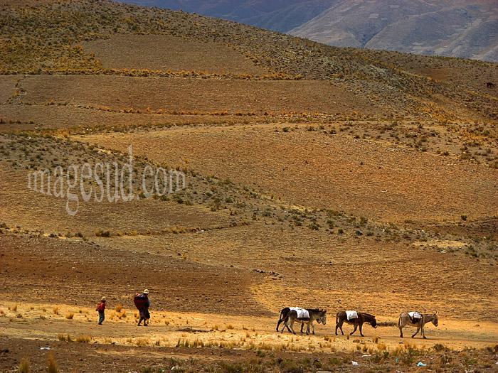 Transport sur l'Altiplano des Andes : petite caravane d'ânes