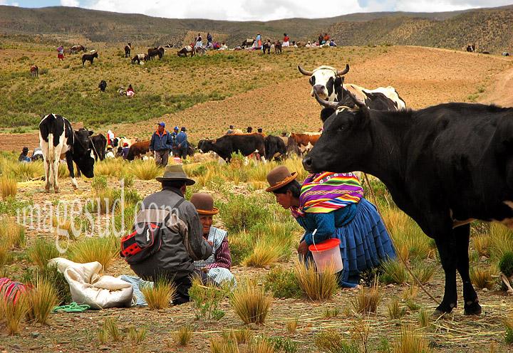 Grand marché aux bestiaux sur l'altiplano de Bolivie