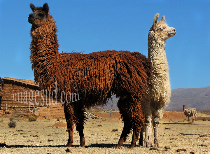 Deux lamas, Argentine dans les Andes