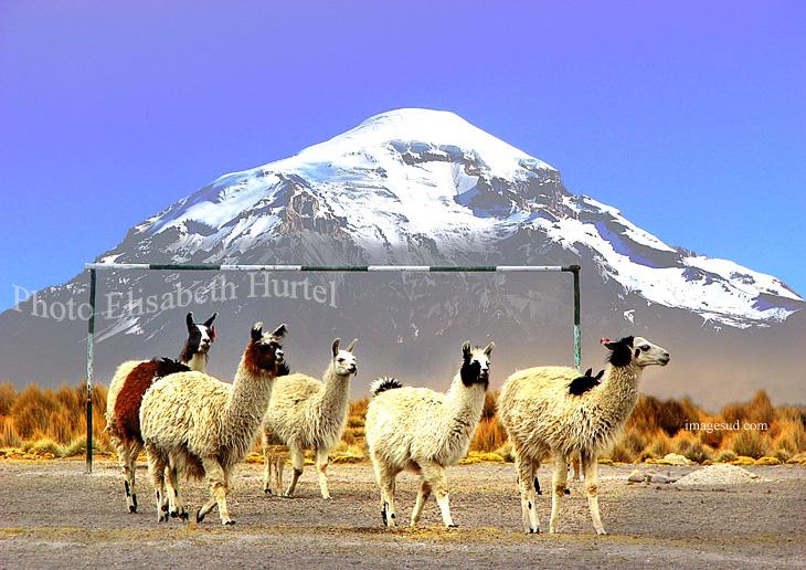 Match de foot dans les Andes : lamas de Bolivie