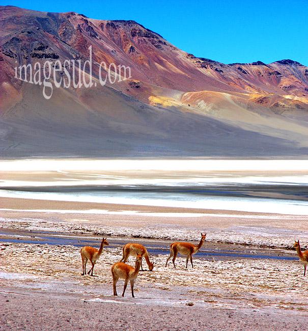 Cordillère des Andes : nature, paysage de montagnes désertiques et salar, avec groupe de vigognes sauvages