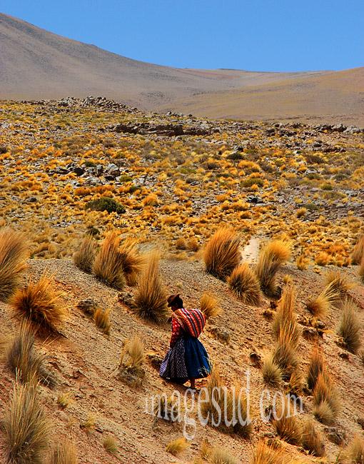 Femme récoltant du fourrage pour ses bêtes dans un paysage d'altiplano des Andes de Bolivie